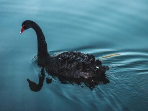 Black Swan on pond